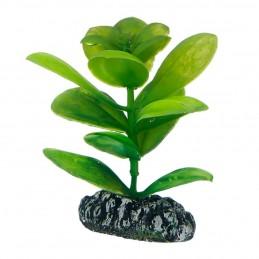 Hobby Saururus HOBBY  Plantes