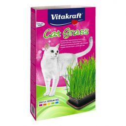 Herbe à chat Cat Grass